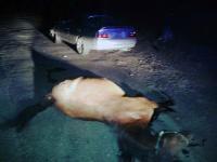 На Камчатке автомобилист сбил лошадь</p> <p>На место аварии…Ранним утром 19 сентября в районе поселка Дальний Камчатского края водитель Toyota Chaser сбил лошадь, она погибла на месте. Мужчина сразу же вызвал инспекторов ГИБДД и с перепугу скорую помощь. Врачи животному помочь уже не смогли, а у водителя диагностировали ушиб головы.Как рассказали в городской госавтоинспекции, сейчас полиция выясняет, кто является владельцем лошади. По закону, если со стороны водителя каких-либо нарушений правил дорожного движения не обнаружат, то собственнику животного придется оплатить ремонт автомобиля. А он в ДТП пострадал довольно серьезно.