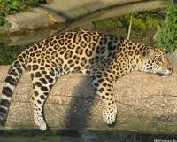 Леопард, или Барс, или Пантера. Ягуар.