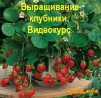 Выращивание клубники на своем